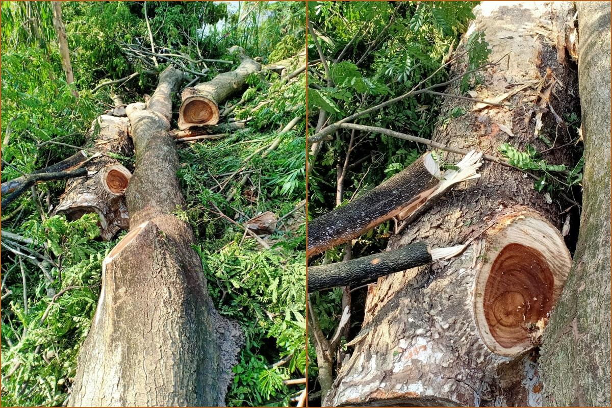 Cây gỗ me tây là gỗ gì?